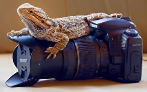 Hintergrundbilder Reptilien Großansicht Objektiv Fotoapparat Echsen CANON ein Tier