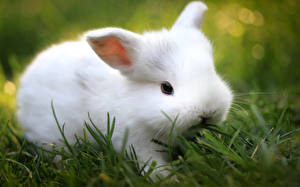 Фотографии Кролики Белый Траве животное