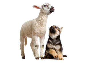 Images Dogs Sheep Puppy 2 Shepherd Animals