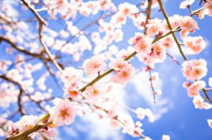 Fotos Frühling Blühende Bäume Ast Rosa Farbe Blumen