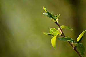 Hintergrundbilder Frühling Großansicht Blattwerk Ast Natur