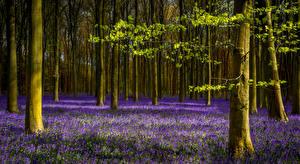Hintergrundbilder Wald Frühling Lavendel Baumstamm Natur