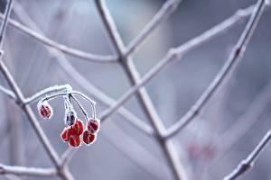 Bilder Beere Winter Ast Schnee Natur