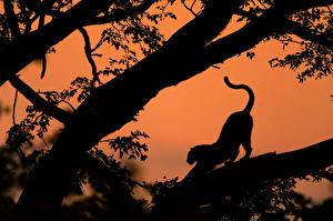Fotos Leopard Große Katze Bäume Ast Tiere