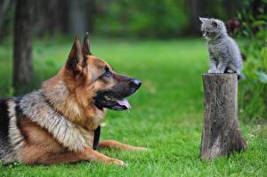 Hintergrundbilder Hunde Gras Baumstumpf 2 Kätzchen Shepherd