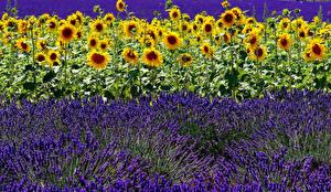 Fotos Acker Sonnenblumen Lavendel Viel Natur