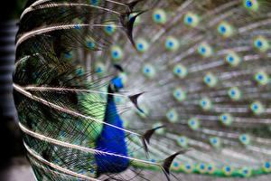 Hintergrundbilder Vögel Pfauen Federn