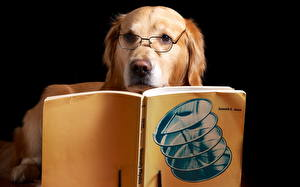 Pictures Dog Golden Retriever Retriever Glasses Book Animal Animals Humor