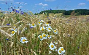 Hintergrundbilder Felder Kamillen Ähre Natur Blumen