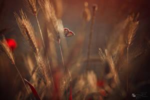 Hintergrundbilder Schmetterlinge Insekten Ähre Tiere Natur