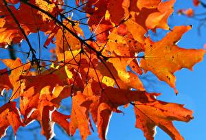 Fotos Herbst Blattwerk Ahorne Ast Natur