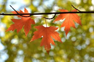 Hintergrundbilder Großansicht Herbst Blattwerk Ast Ahorne Natur