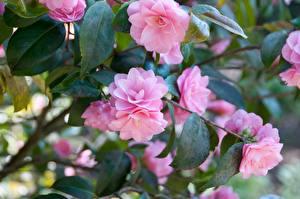 Hintergrundbilder Kamelien Rosa Farbe Ast Blumen