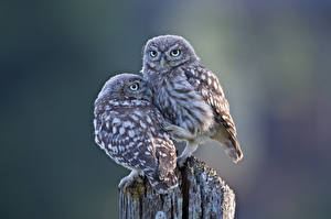 Wallpapers Owls Bird Two animal