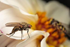 Papel de Parede Desktop moscas Insetos De perto animalia