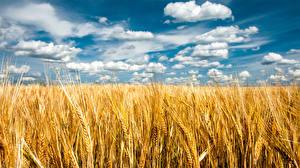 Hintergrundbilder Felder Sommer Himmel Weizen Ähre