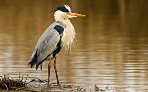 Fotos Reiher Vögel Tiere