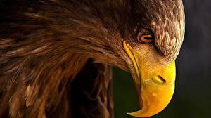 Image Eagle Closeup Bird Beak Animals