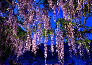 Bilder Blauregen Gebirge Ast Blumen
