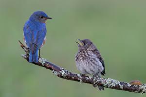 Bilder Vögel Zwei Ast Blau Bluebird Tiere