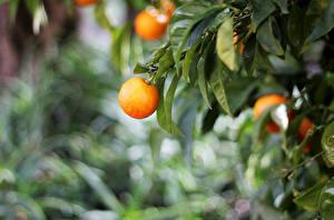 Hintergrundbilder Apfelsine Blattwerk Ast Lebensmittel