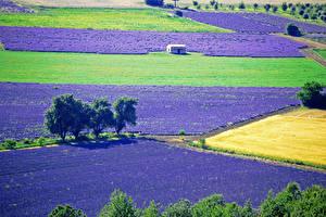 Fotos Lavendel Acker Natur