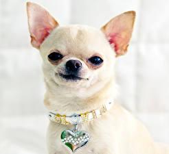 Picture Dog Jewelry Chihuahua Staring Animals