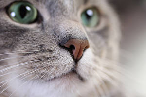 Picture Cat Eyes Staring Whiskers Snout Nose Animals