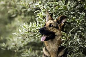 Bilder Hunde Shepherd Strauch