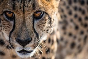 Pictures Cheetahs Big cats Eyes Staring Snout Whiskers Nose animal