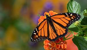 Bilder Schmetterlinge Monarchfalter