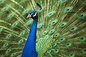 Fotos Pfau Vögel