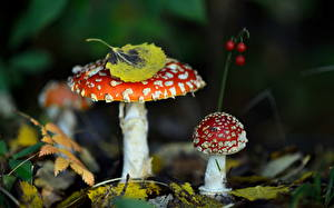 Bilder Pilze Natur Herbst Wulstlinge