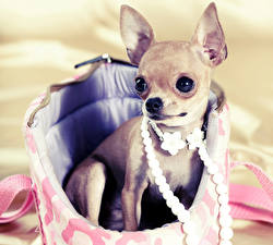 Pictures Dog Jewelry Chihuahua Glance Animals