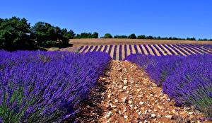 Fotos Acker Lavendel Natur