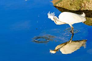 Bilder Reiher Vögel Wasser Weiß