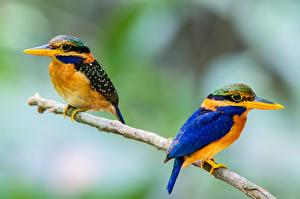 Hintergrundbilder Eisvogel Vögel Zwei Ast Tiere