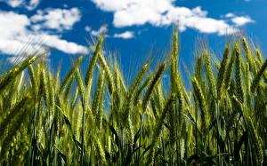 Bilder Acker Weizen Ähre