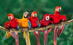 Hintergrundbilder Papageien Vögel Eigentliche Aras Ast Bing