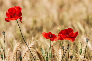 Fotos Mohn Ähre Rot Blumen