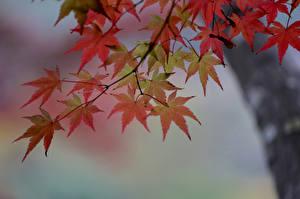 Hintergrundbilder Herbst Ast Ahorne Blattwerk Natur