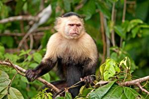 Fotos Affen Ast Blick Tiere
