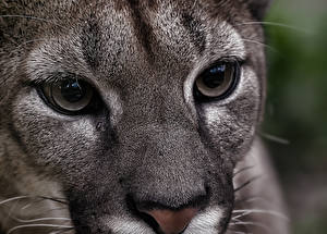 Photo Cougar Big cats Eyes Glance Snout Nose animal