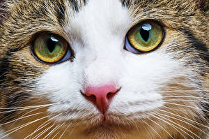 Wallpaper Cat Eyes Staring Snout Whiskers Nose Animals