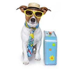 Hintergrundbilder Jack Russell Terrier