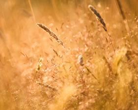 Hintergrundbilder Sommer Ähre Gras