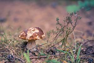 Bilder Pilze Natur Gras