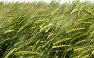 Fotos Sommer Felder Weizen Ähre Natur