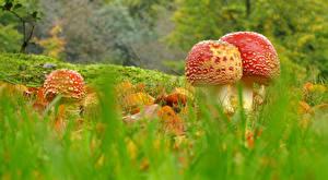 Bilder Pilze Natur Wulstlinge Gras
