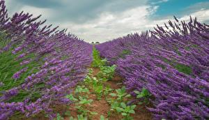 Bilder Lavendel Acker Natur Blumen